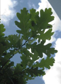 a small branch of oak leaves with the blue sky behind them