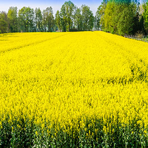 a yellow field of rape seed plants
