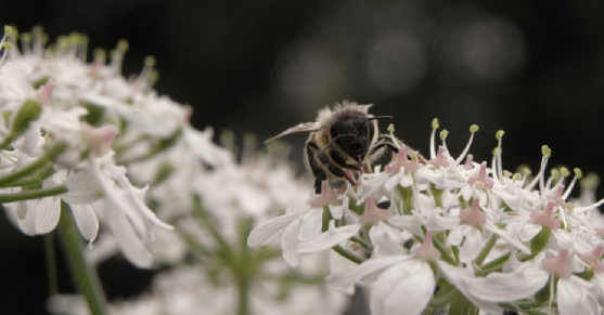 A bee lands on some white flowers