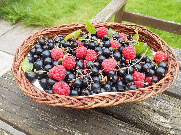 A basket of raspberries and blackcurrants is on a wooden floor