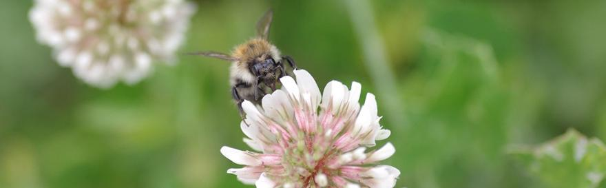 A bumblebee is landing on a clover flower